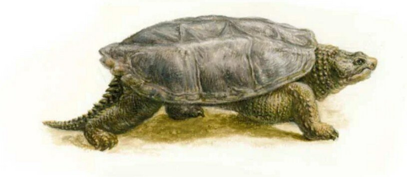 Desmatochelys — wikipedia republished // wiki 2