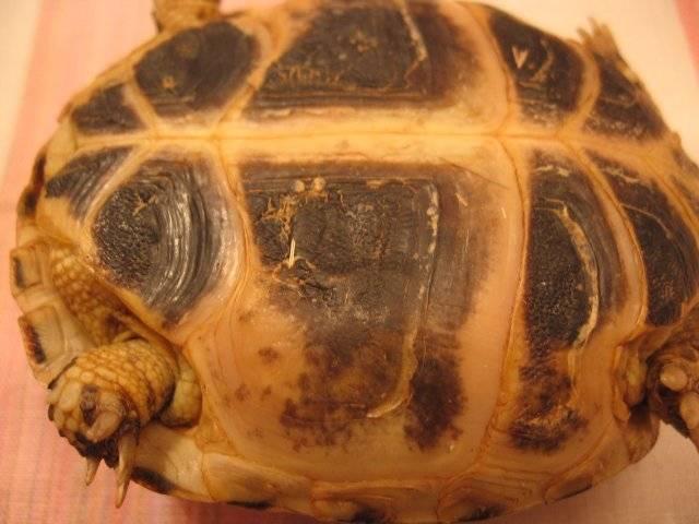 Болезни красноухих черепах: симптомы и лечение (фото)