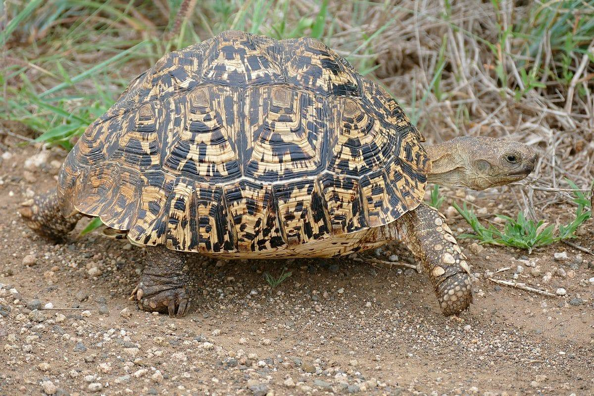 Леопардовая черепаха - фото, описание, ареал, рацион, враги, популяция