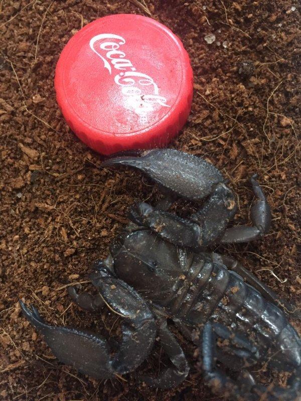 Каменный скорпион
