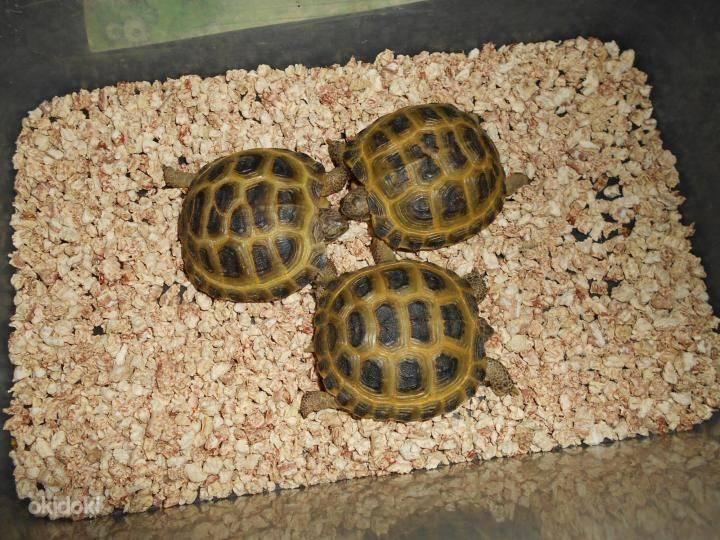Среднеазиатская черепаха – фото, описание, содержание, питание, отзывы