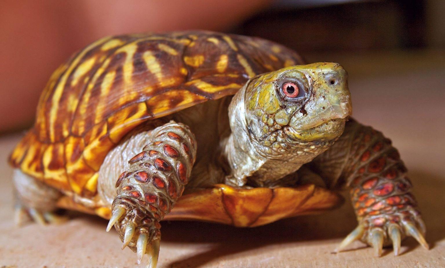 Почечная недостаточность у черепах