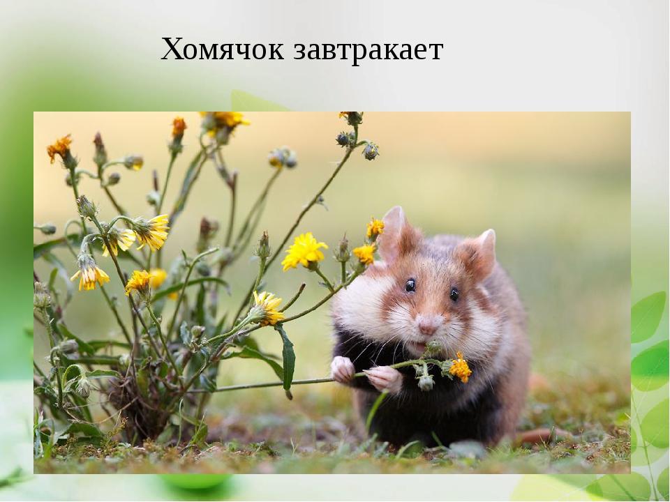Хомяки в дикой природе