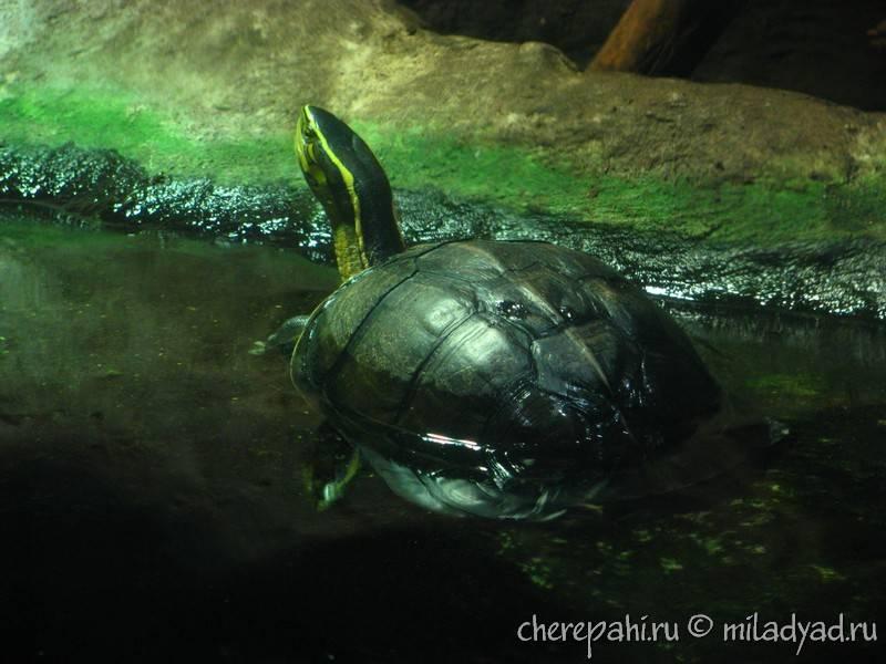 Морские черепахи пляжа май као