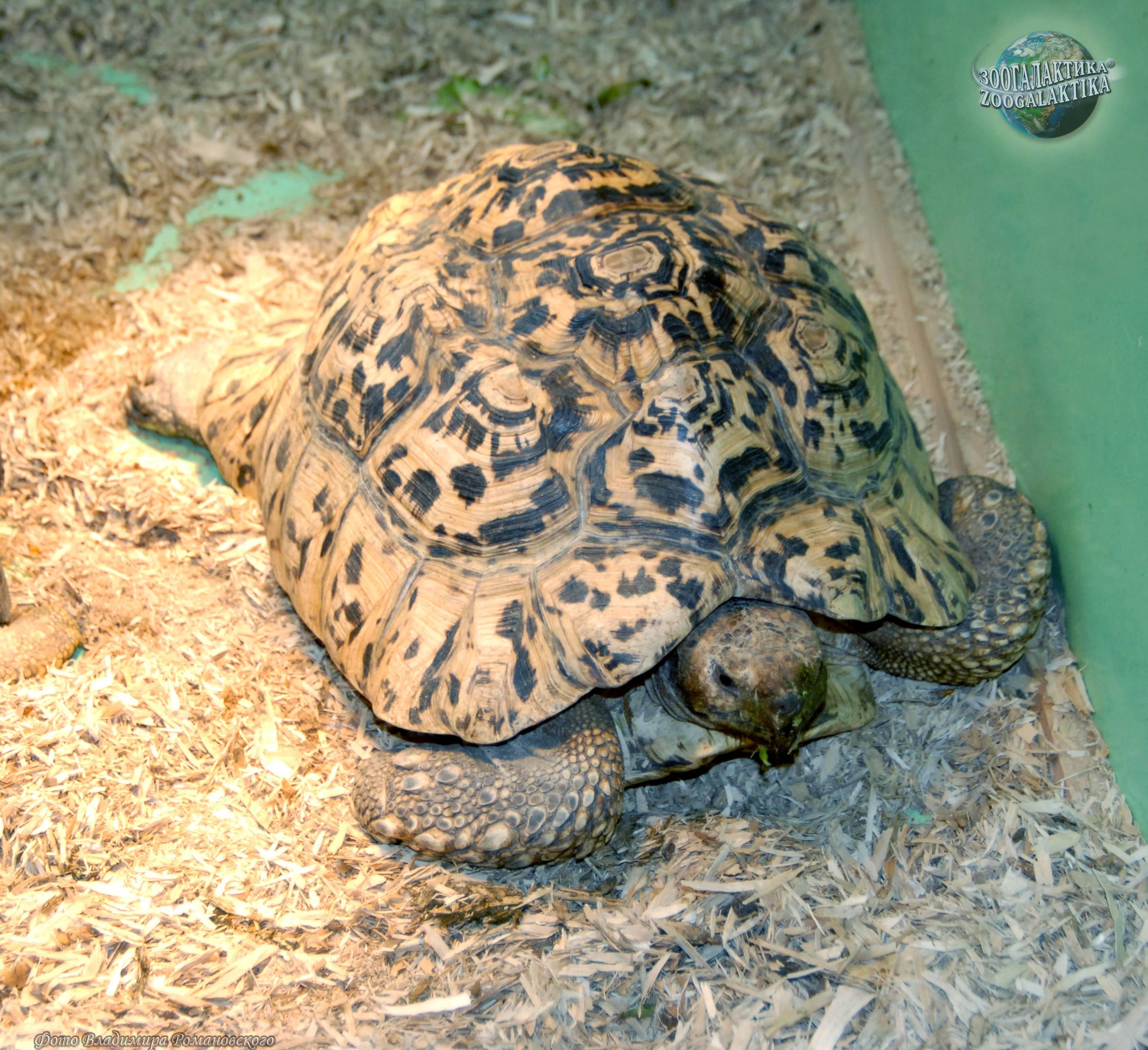 Леопардовая черепаха. как ухаживать за леопардовой черепахой