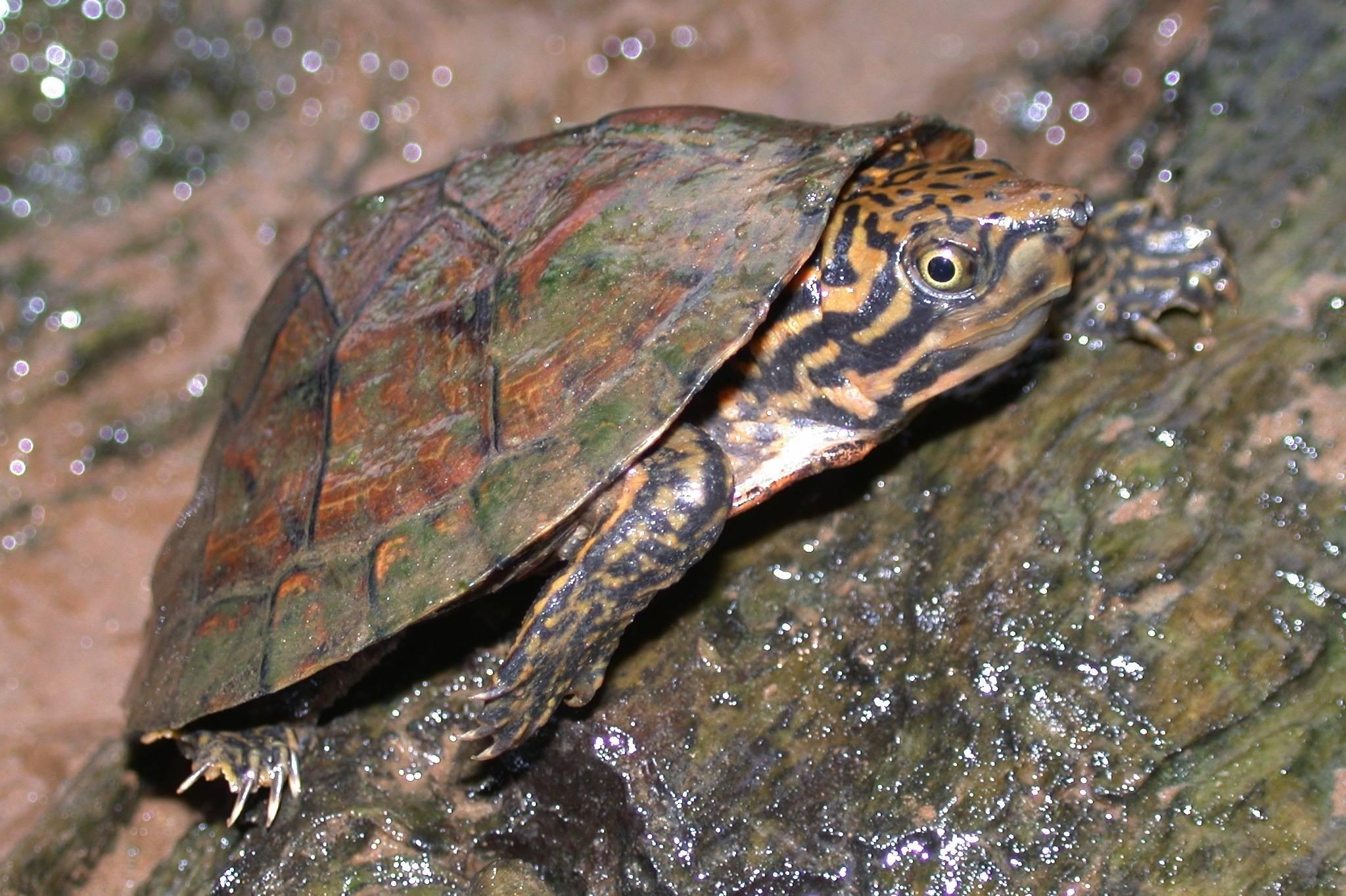 Иловые черепахи