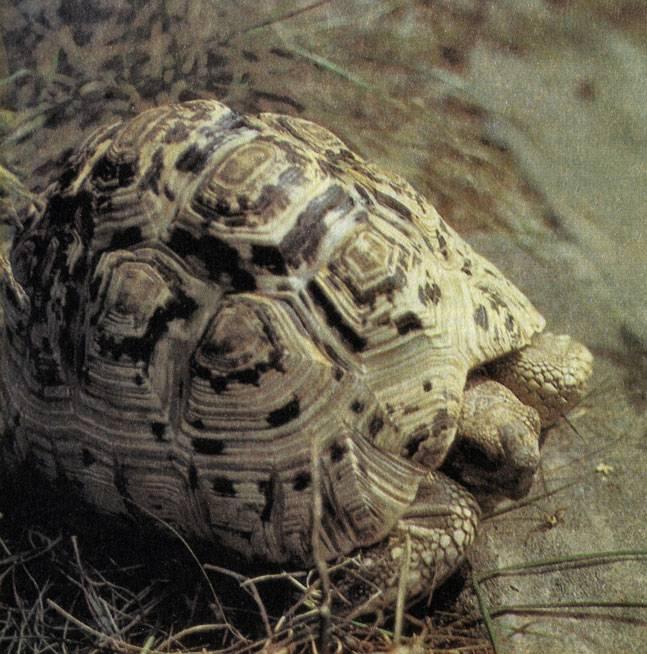 Леопардовая черепаха — википедия. что такое леопардовая черепаха