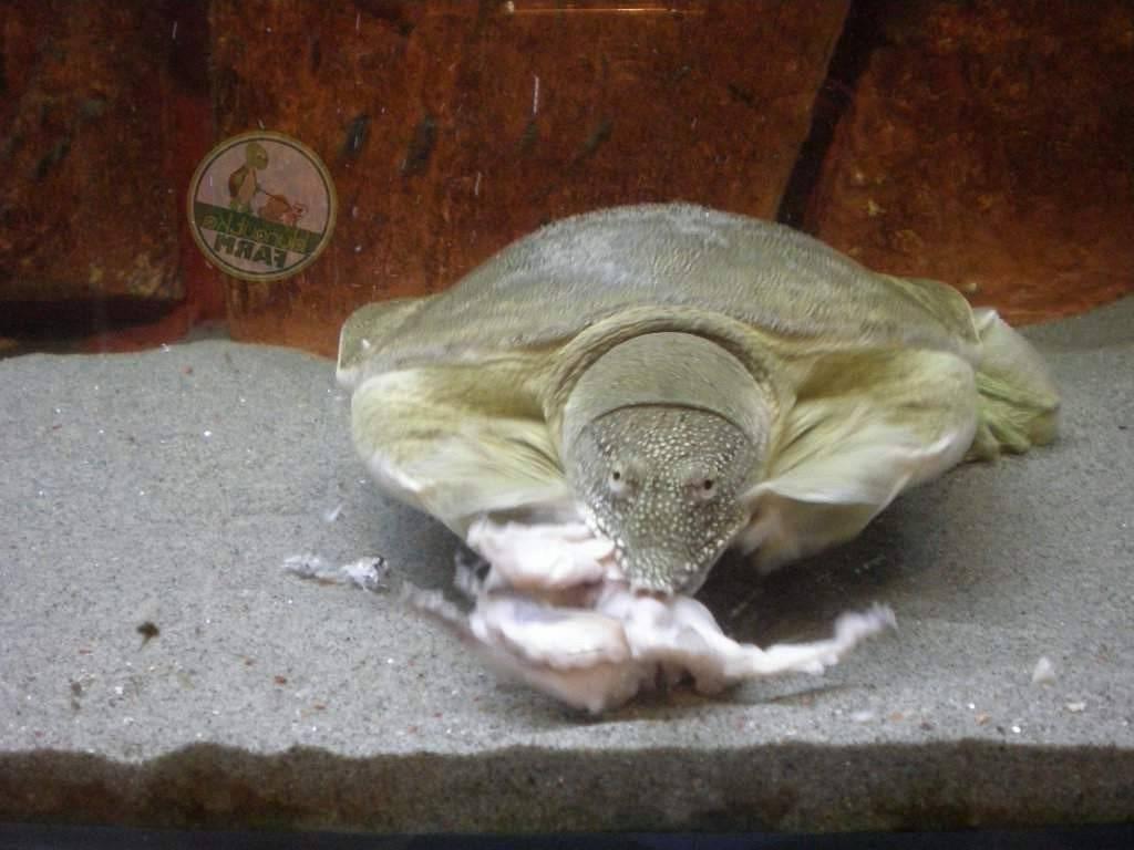 Трионикс — быстрая, мягкая, но злая черепашка