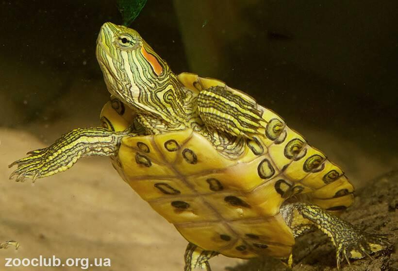 11 болезней красноухих черепах, симптомы и методы лечения