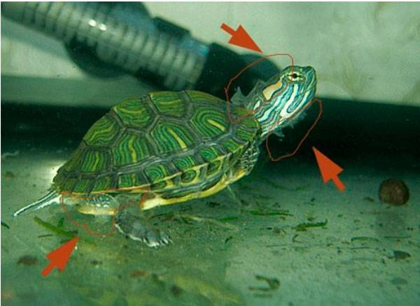 Красноухая черепаха линяет