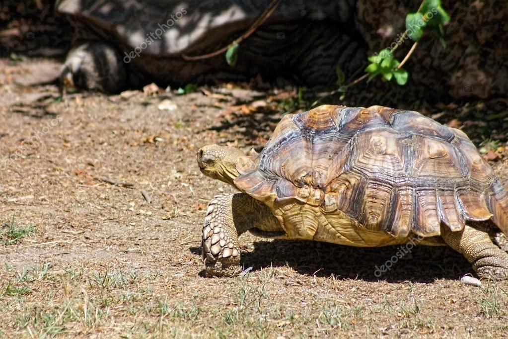 Большая черепаха гневный панцирь