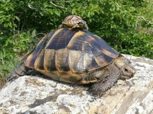 Средиземноморская черепаха (testudo graeca) [1988 александровская т.о., васильева е.д., орлова в.ф. - рыбы, амфибии, рептилии красной книги ссср: береги природу!]
