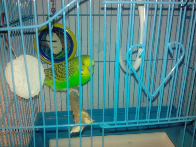 Первые дни дома: адаптация волнистого попугайчика