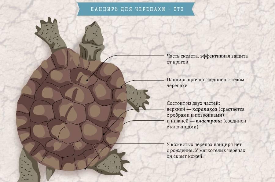 Как определить возраст сухопутной черепахи? два простых способа. определение возраста черепахи как узнать возраст сухопутной черепахи по панцирю