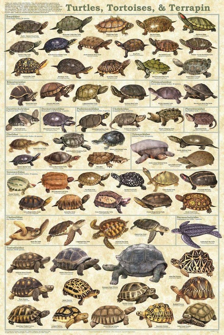 Черепахи с галапагосских островов