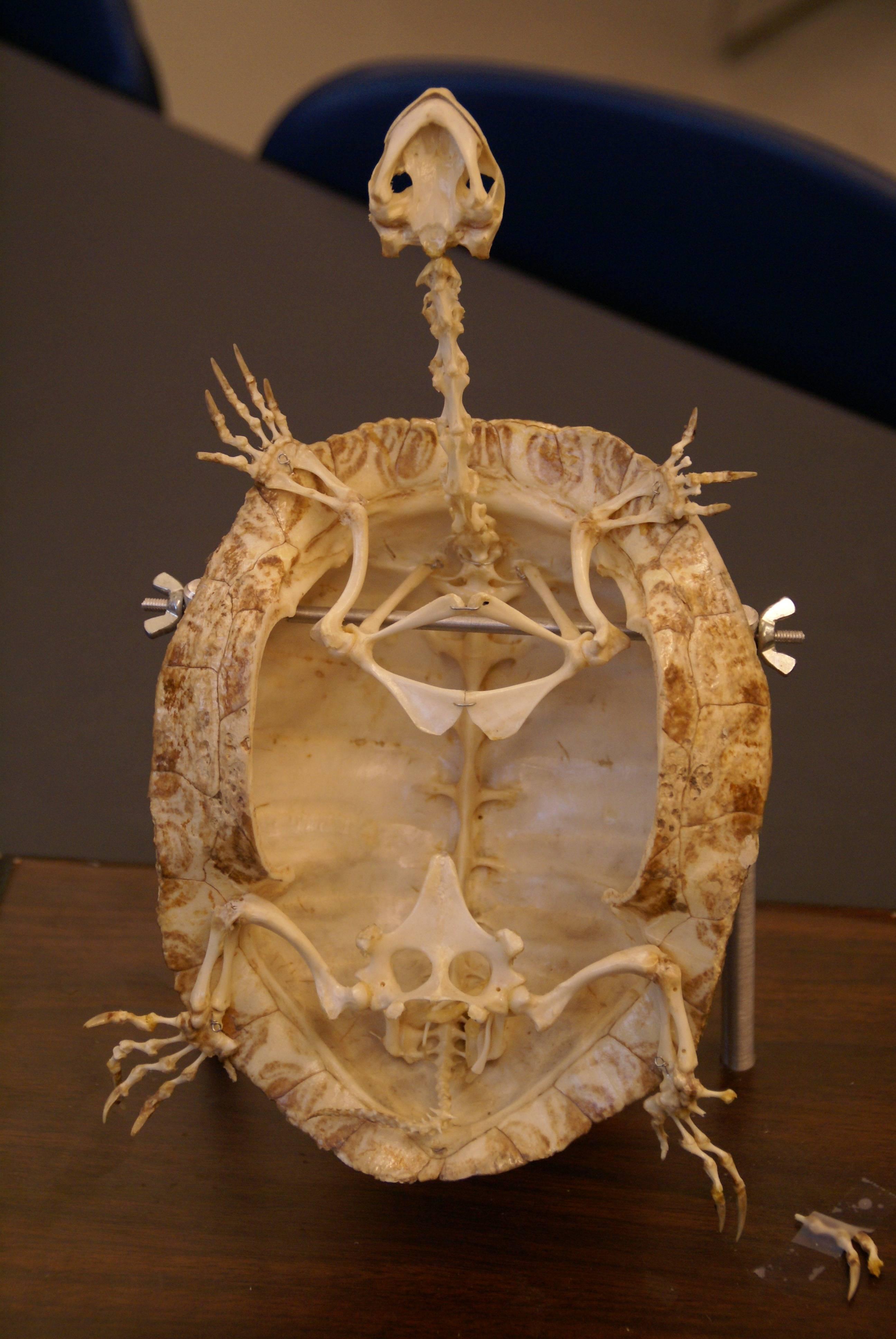 Припух сустав у сухопутной черепахи