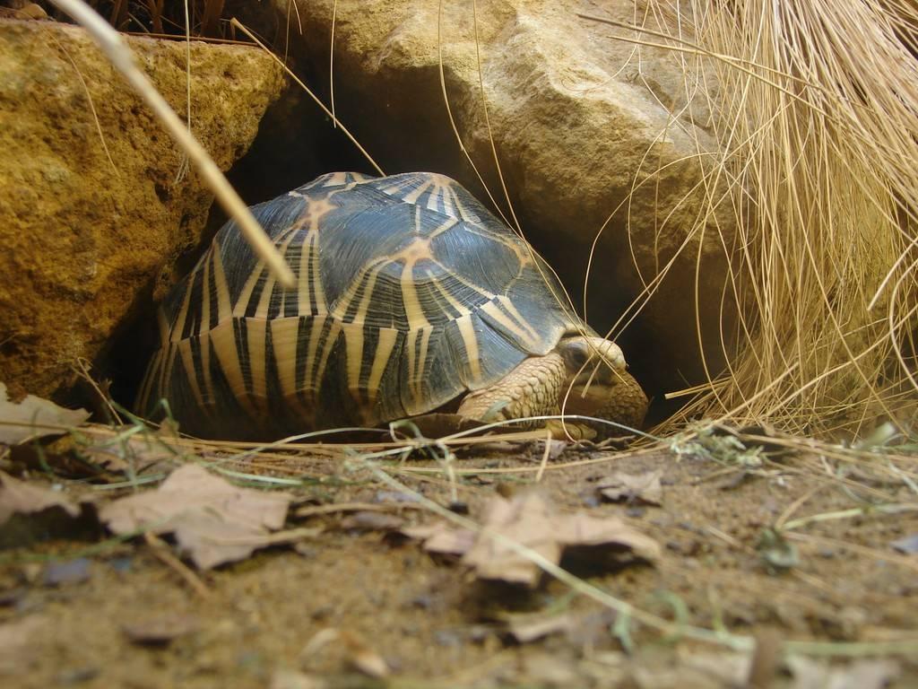 Лучистая черепаха - что это такое