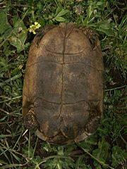 Средиземноморская черепаха никольского (testudo graeca nikolskii) в абхазии – тема научной статьи по биологическим наукам читайте бесплатно текст научно-исследовательской работы в электронной библиотеке киберленинка