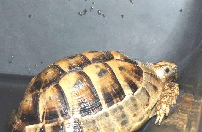 Как ухаживать за черепахой – купание и стрижка когтей
