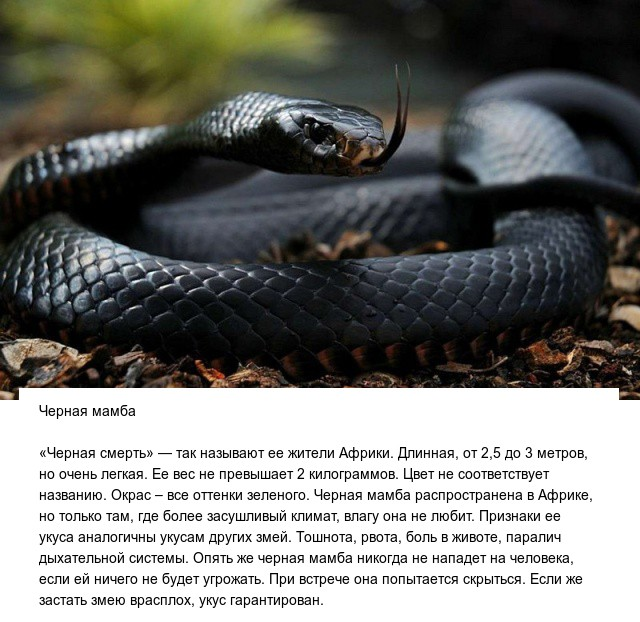 Черная мамба — самая ядовитая змея на планете