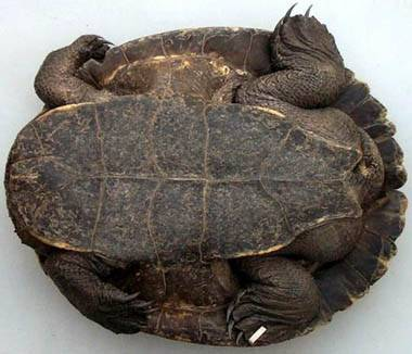 Список видов черепах - вики