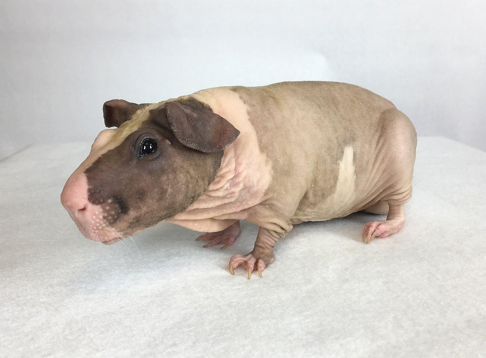Все, что нужно знать о морской свинке породы болдуин