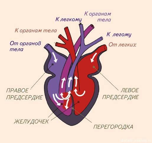 Сердечно-сосудистая система - circulatory system