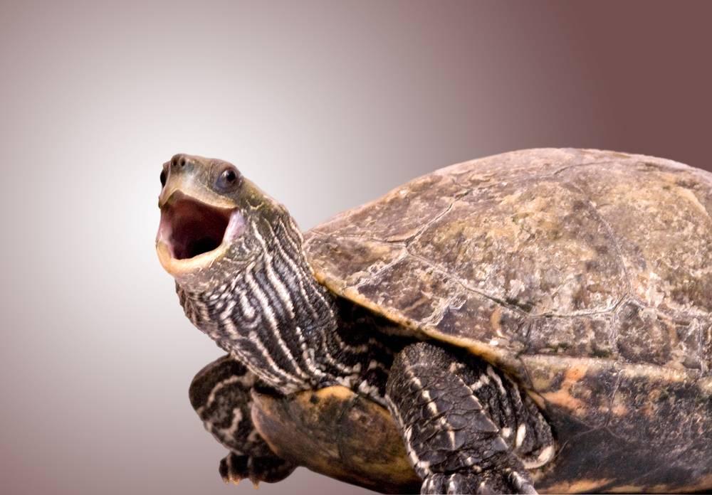 Почему черепаха пищит? как открыть рот черепахе? как открыть черепахе рот.