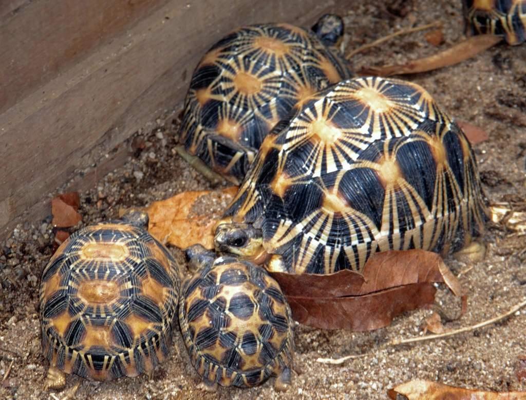 Лучистая черепаха — википедия
