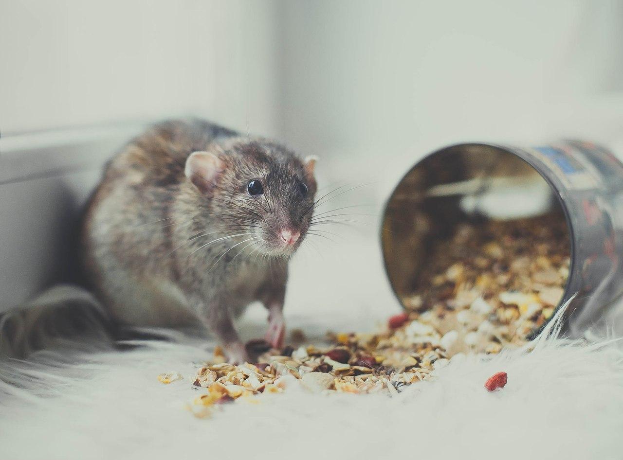Кормление декоративных мышей