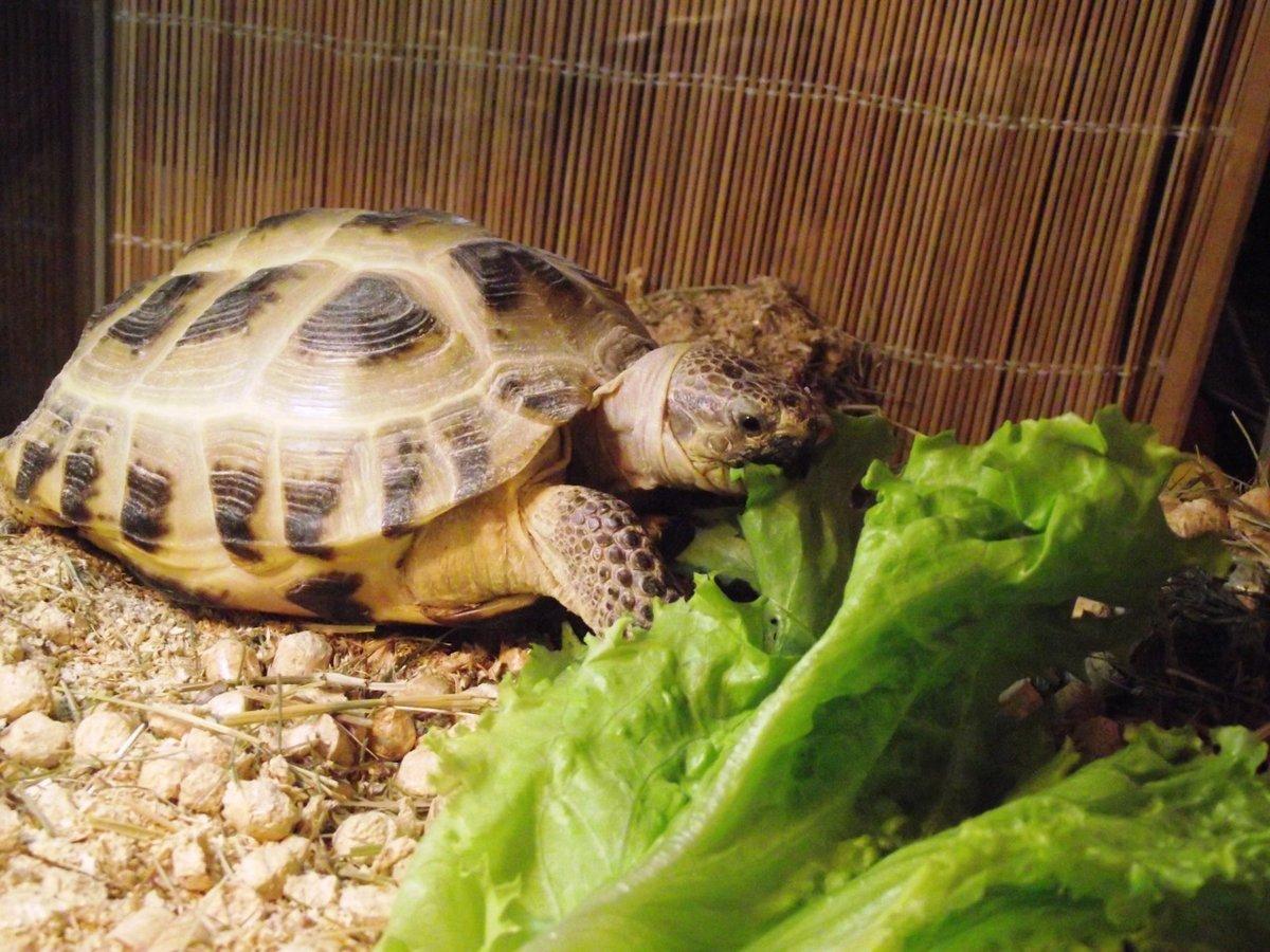 какая черепаха лучше для домашнего содержания