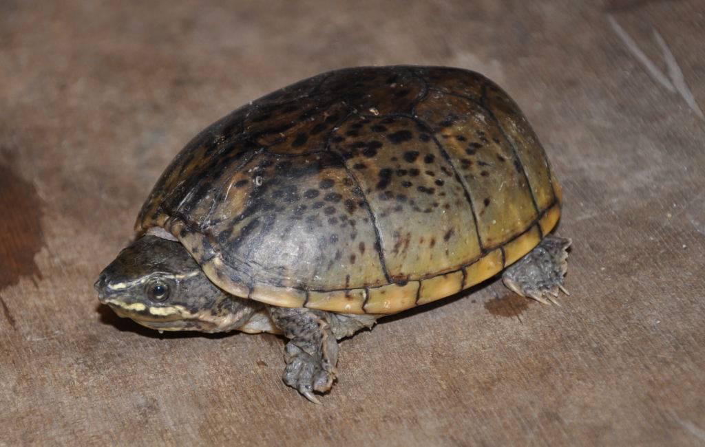 Мускусная черепаха – фото, описание, ареал, рацион, враги, популяция
