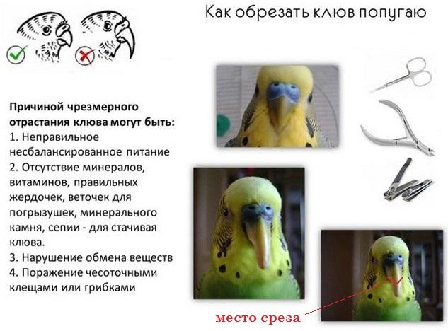 Если у попугая не работает лапка. симптомы, заболевания, лечение