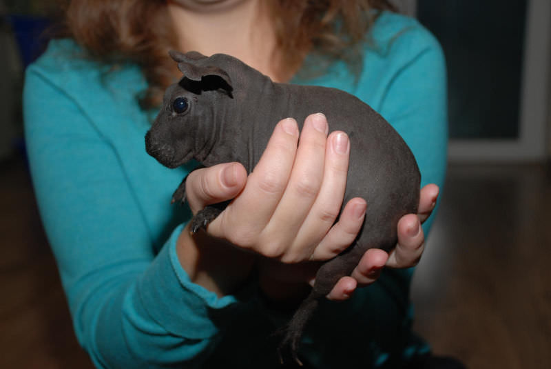 Как правильно содержать и ухаживать за морской свинкой сфинкс?