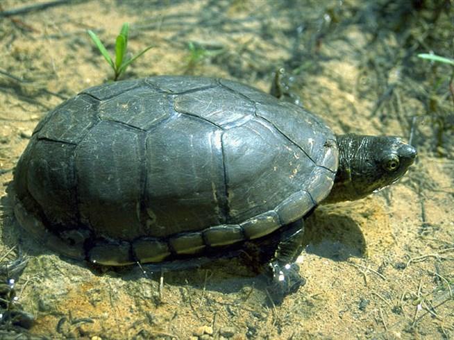 Замыкающиеся черепахи (семейство)