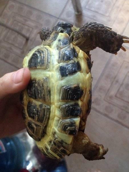 У сухопутной черепахи опухли веки и слезятся глаза, что делать?