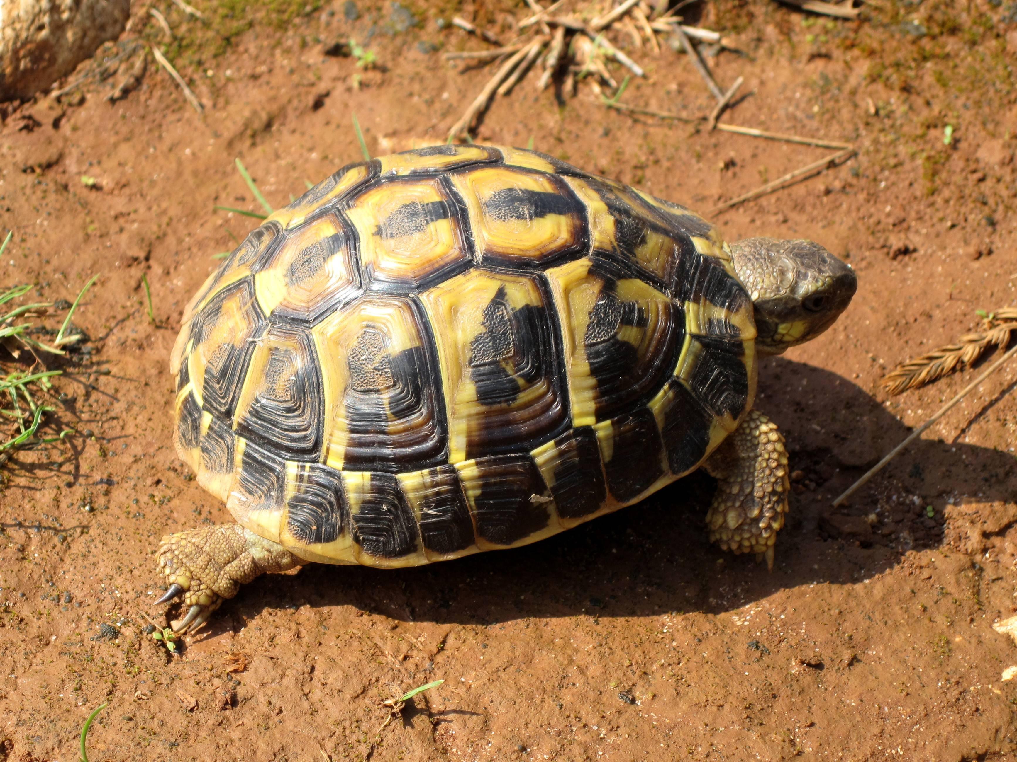 Балканская черепаха - вики