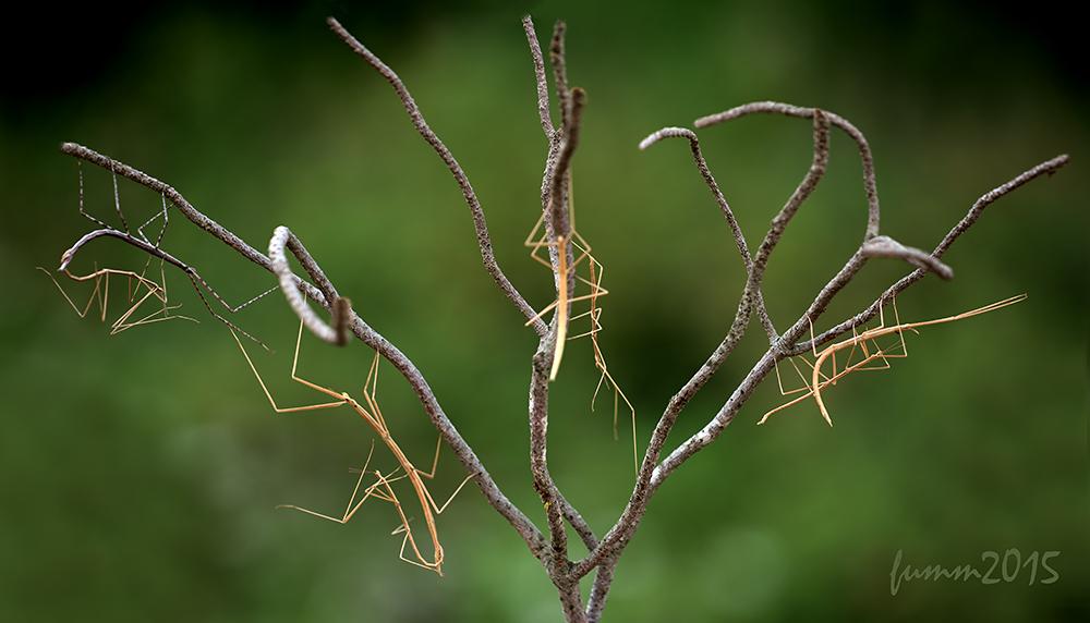 Палочник: удивительные свойства насекомого