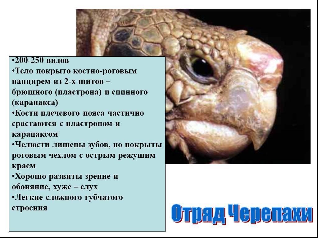 Как устроена черепаха внутри