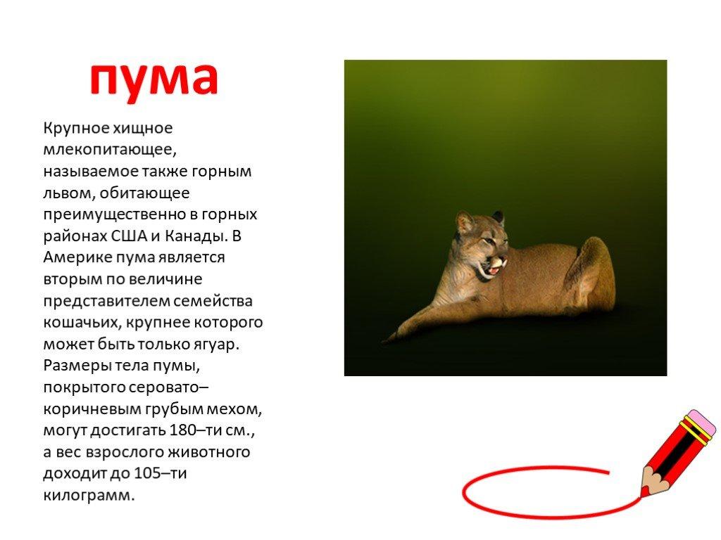 Животное пума