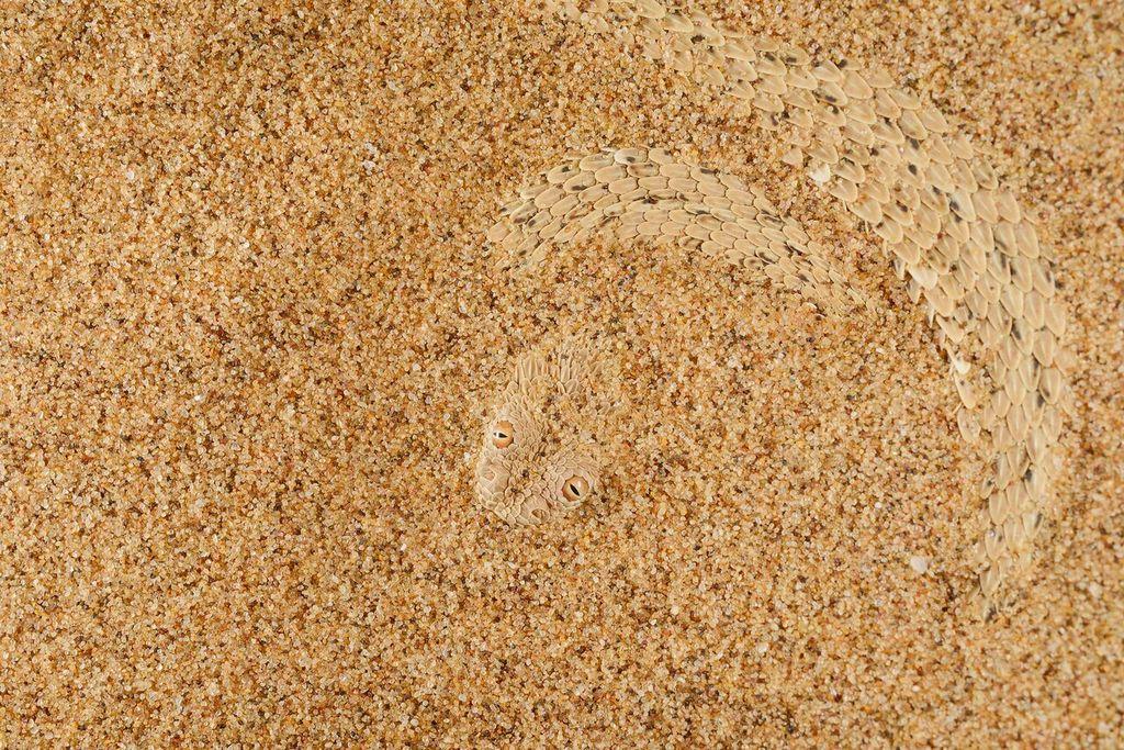 Карликовая африканская гадюка
