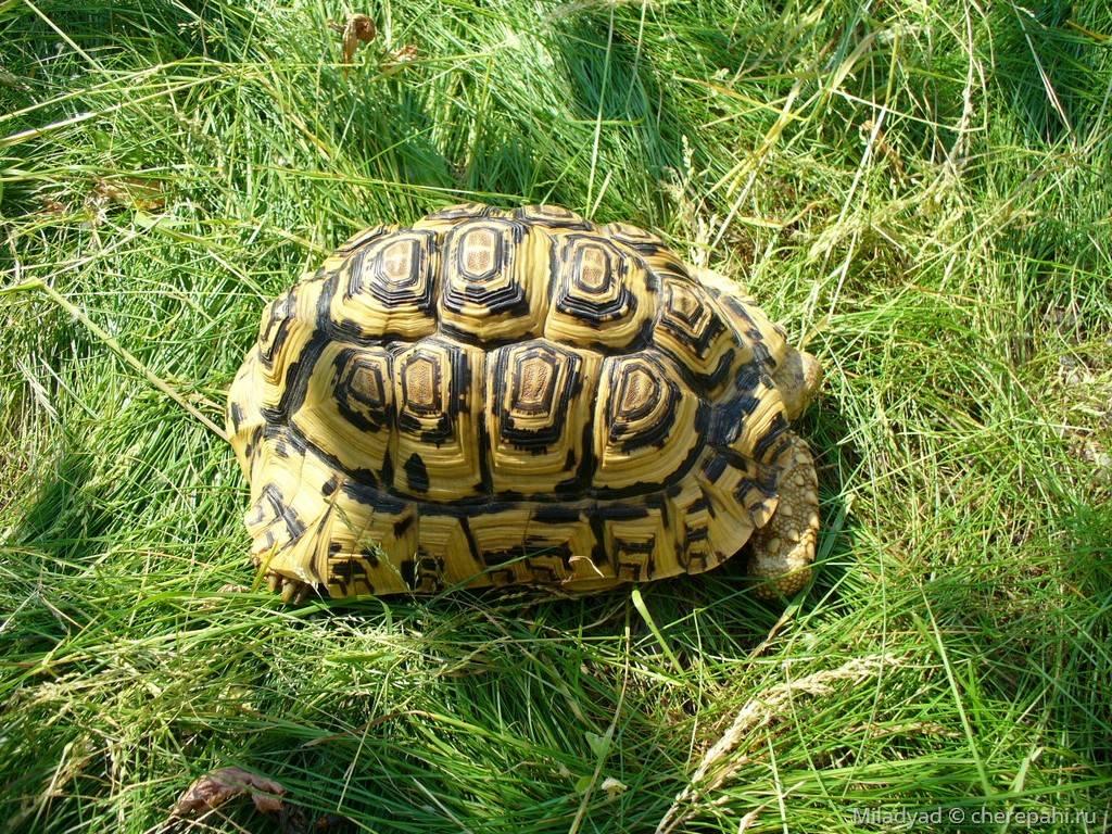 Леопардовая черепаха — википедия
