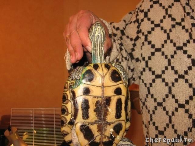 Способ фиксации животного в стереотаксическом аппарате — su 927243