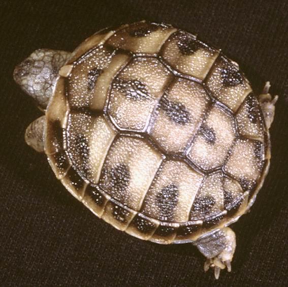 Балканская черепаха — википедия переиздание // wiki 2