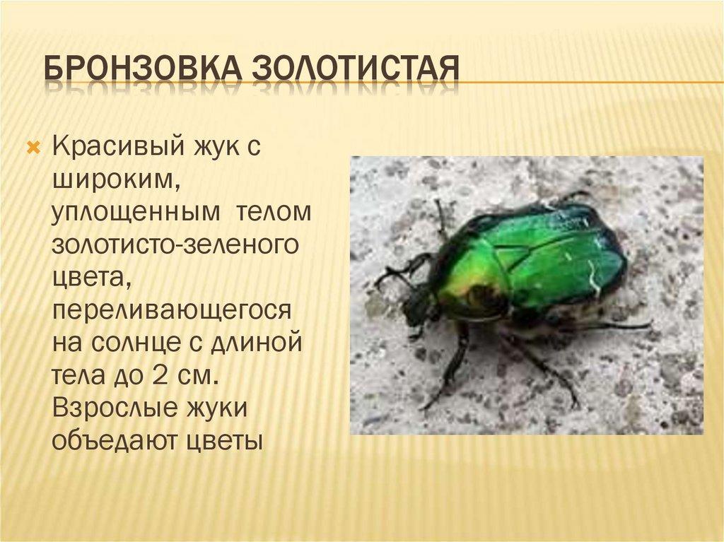 Золотистая бронзовка (Cetonia aurata)