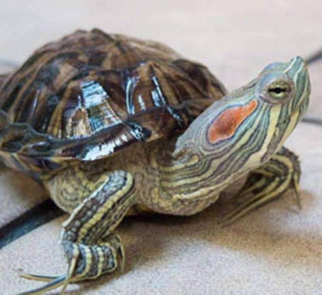 Все о черепахах. - всё о черепахах - запись пользователя оксана (kiskaja) в сообществе домашние животные в категории интересное о животных - babyblog.ru