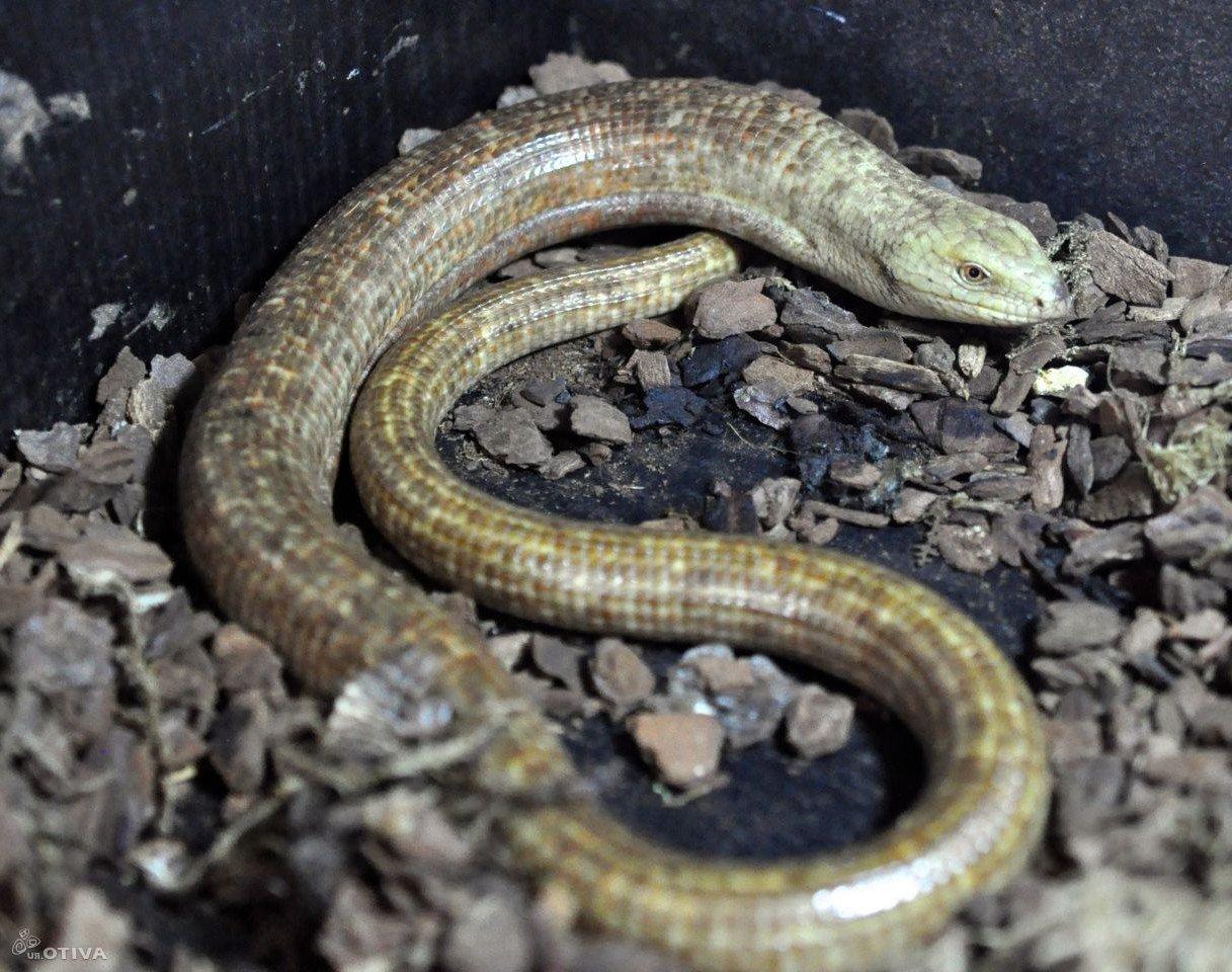 Желтопузик — безногая ящерица
