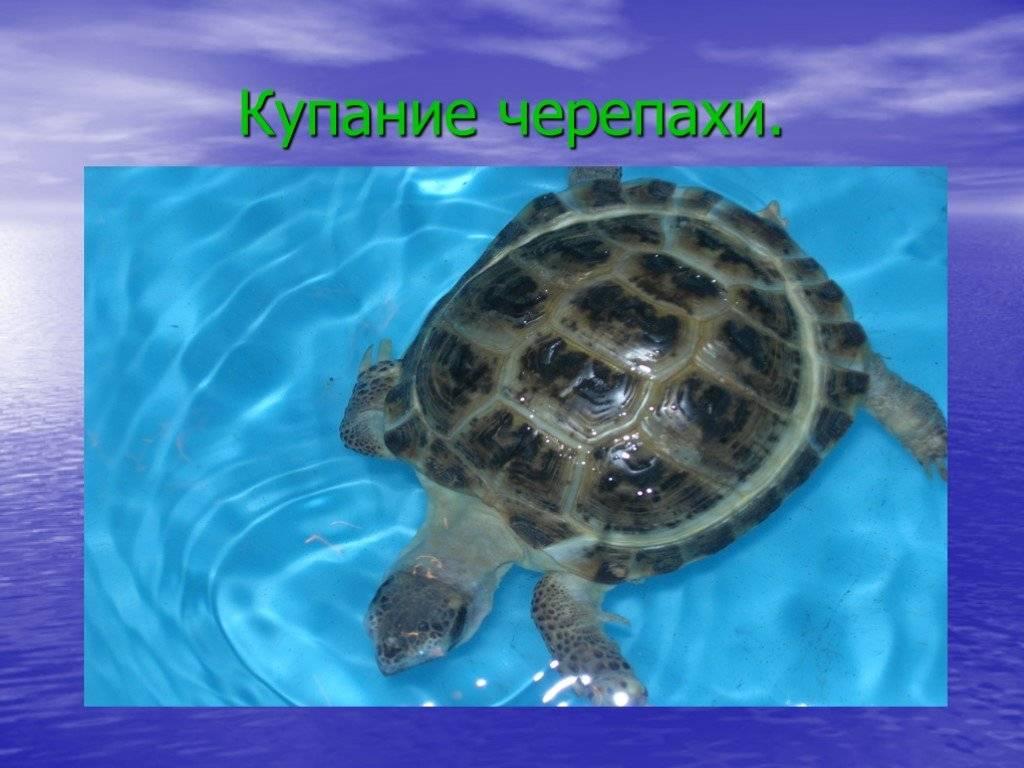 Купание среднеазиатской черепахи. купание и мытье черепах