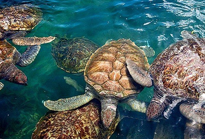 Черепаха сельское хозяйство - turtle farming