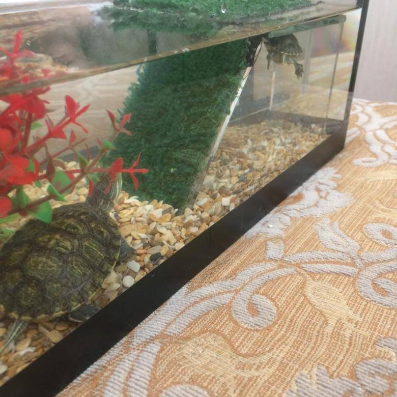 Температура воды для красноухой черепахи